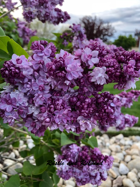lilacs close-up 6-13-19
