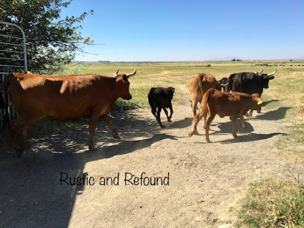 turning cows out 2